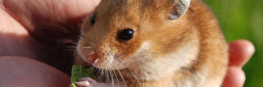 Un hamster en train de se nourrir