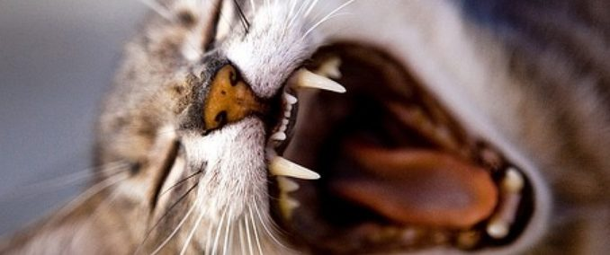 La dentition du chat