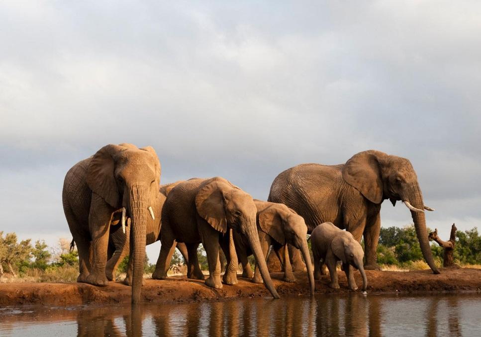 Elephants au bord de l'eau