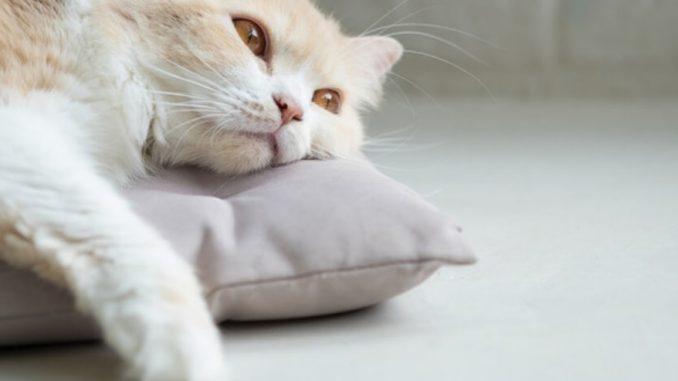 Chat blanc sur un coussin