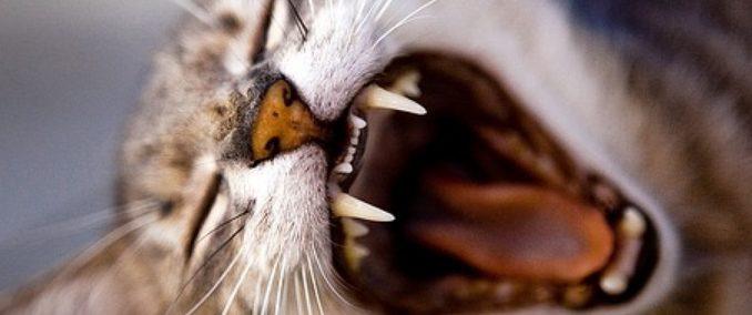 La dentition du chat
