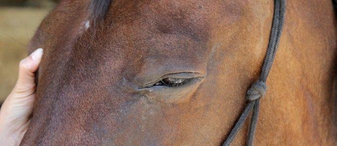 Sarcoide équin