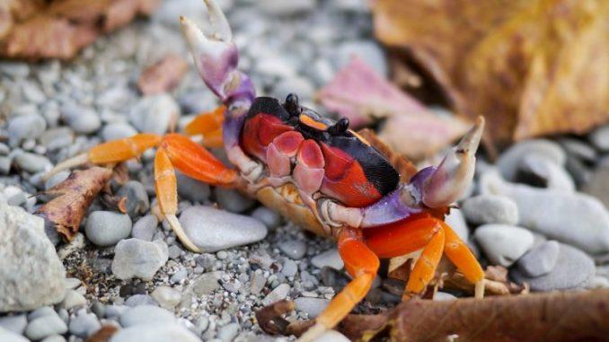 Crabe d'Halloween